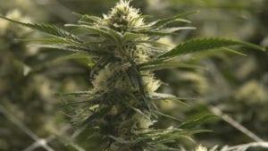 National Cannabis Survey 2019
